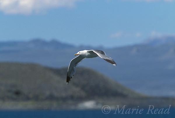 California Gull (Larus californicus) in flight in summer, Mono Lake, California, USA<br /> Slide # B59-429