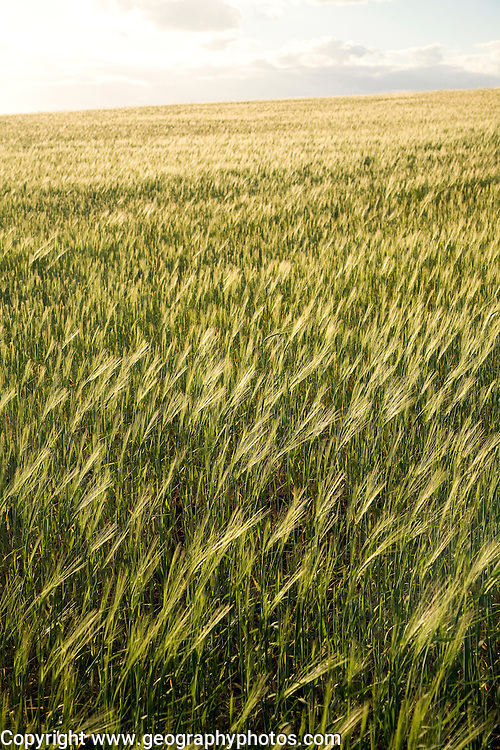 Field of barley, Suffolk, England