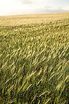 Field of barley, Suffolk, England