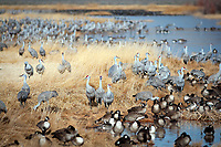 March 21, 2018: Sandhill cranes and Canada geese enjoy the morning sun among the wetland reeds of the National Wildlife Refuge. Each spring, as many as 27,000 sandhill cranes migrate through Colorado's San Luis Valley and the Monte Vista National Wildlife Refuge, Monte Vista, Colorado