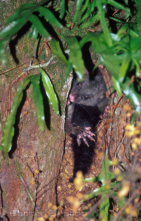 Bobuck or Mountain Brushtail Possum (Trichosurus cunninghamii) in sleeping den in a rainforest myrtle tree. Central Highlands, Victoria.