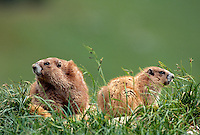 35-M02A-MO-061    OLYMPIC MARMOT (Marmota olympus) adult and youngster, Olympic National Park, Washington, USA.