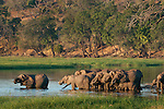 African elephant herd drinking at the Chobe River, Chobe National Park, Botswana. (This species is found in many African countries including South Africa, Botswana, Zambia, Zimbabwe, Namibia, Tanzania, Kenya, Rwanda, Uganda, Angola, Democratic Republic of Congo)