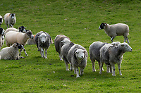 Swaledale and Herdwick sheep, Rydal, Lake District, Cumbria.