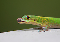 A cute, green, gold dust day gecko sticks out its tongue on a lanai on O'ahu.