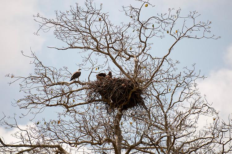 A large nest home to a family of White-bellied sea eagles (Haliaeetus leucogaster). Bundala National Park - Sri Lanaka.