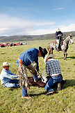 USA, Wyoming, Encampment, a calf is held down and branded, Big Creek Ranch