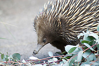 Mierenegel (Tachyglossus aculeatus), Australi'