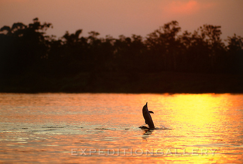A tucuxi, or grey river dolphin (Sotalia fluviatilis) leaping at sunset from the reflecting waters of the Amazon River in Brazil, South America. This small member of the dolphin family inhabits freshwater rivers of the Amazon and Orinoco Rivers, as well as near-shore marine environments of the Atlantic/Caribbean coasts of South and Central America. It inhabits similar habitat as the pink Amazon River dolphin (Boto).