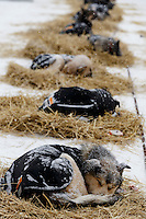 Pete Kaiser dogs sleep in the dog lot in Nome on Thursday March 13 during the 2014 Iditarod Sled Dog Race.<br /> <br /> PHOTO (c) BY JEFF SCHULTZ/IditarodPhotos.com -- REPRODUCTION PROHIBITED WITHOUT PERMISSION