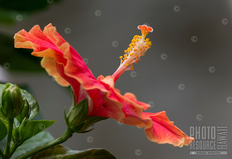 A profile photo of a hibiscus flower.