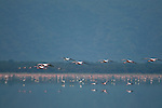 Flamingos in Lake Manyara, Africa