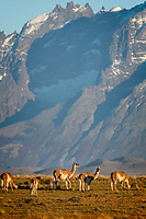 Soft morning light. A small herd of Guanacos (Lama guanicoe) feeding - there is almost always at least one watching while the others eat and they switch off - and the huge mountain background. A nice reminder of a wonderful place.