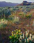 North Columbia Basin Wildlife Area, WA<br /> Velvet lupine, balsamroot and sage below the cliffs of the Lower Grand Coulee