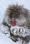Japanese Macaque, Macaca, fuscata, foraging in snow for food, hot water spring, Jigokudani National Park, Nagano, Honshu, Asia, primates, old world monkeys, snow, macaques, behavior, onsen, red face, .Japan....