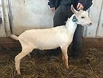 goats 1010