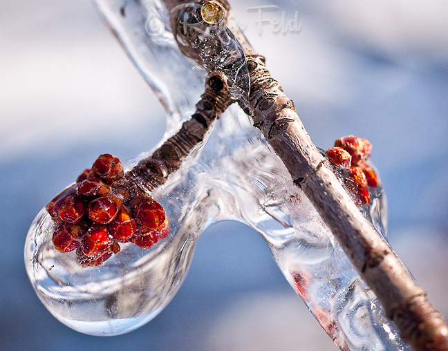 Red bud in ice.