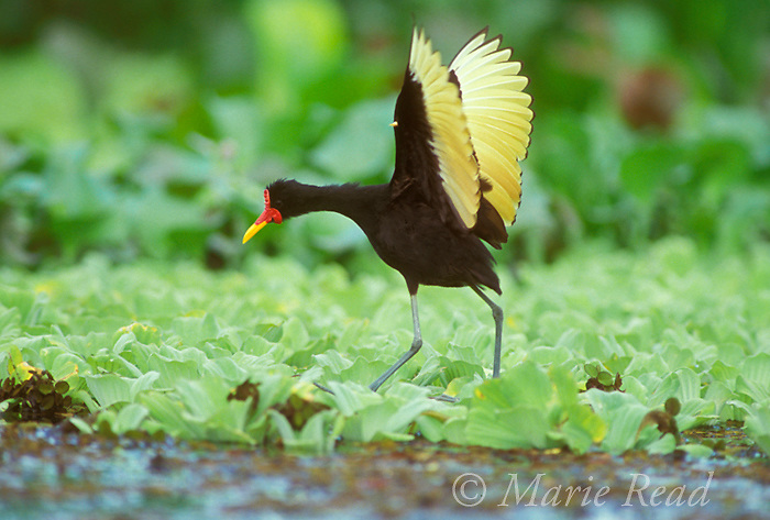 Wattled Jacana (Jacana jacana) giving raised-wing display in alarm, showing yellow wing spurs, Gamboa, Panama.<br /> Slide # B49-56