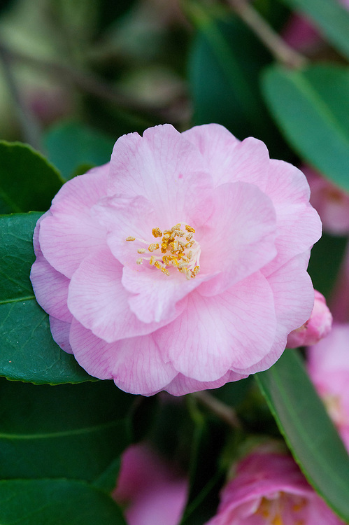 Camellia 'Spring Festival', glasshouse, early February.