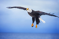 Bald Eagle soars across the sky over Kachemak Bay, Homer, Alaska