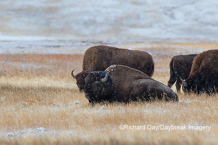 01985-02708 Bison (Bison bison) near Midway Geyser Basin Yellowstone National Park, WY