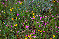 Sabatia campestris, Prairie or Rose gentian, flowering wildflower in Tallgrass Prairie Preserve, Oklahoma with Rudbeckia, coneflowers