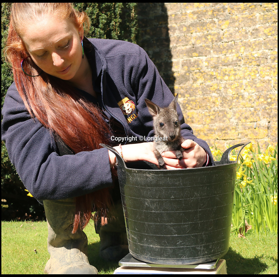 BNPS.co.uk (01202 558833)<br /> Pic: IanTurner/BNPS<br /> <br /> Weighing in - Keeper Gemma has nursed him back to health.  <br /> <br /> Full of the joys of Spring - This lucky baby wallaby at the Longleat Safari Park is celebrating the much delayed arrival of spring sunshine after being rescued from certain death when abandoned by his mother during the 'Beast from the East'.<br /> <br /> Keeper Gemma Short has had to step in and carry him around in a substitute pouch made from a rucksack - but now spring is finally on the way he should be able to hop around on his own more frequently.