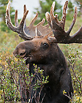Bull moose in velvet browsing. Roosevelt National Forest, Colorado.