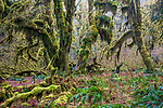 Moss-laden trees, Hoh Rain Forest, Olympic National Park, Washington, USA<br /> <br /> Canon EOS 5DS R, EF24-70mm f/4L IS USM lens, f/13 for 3.2 seconds, ISO 100