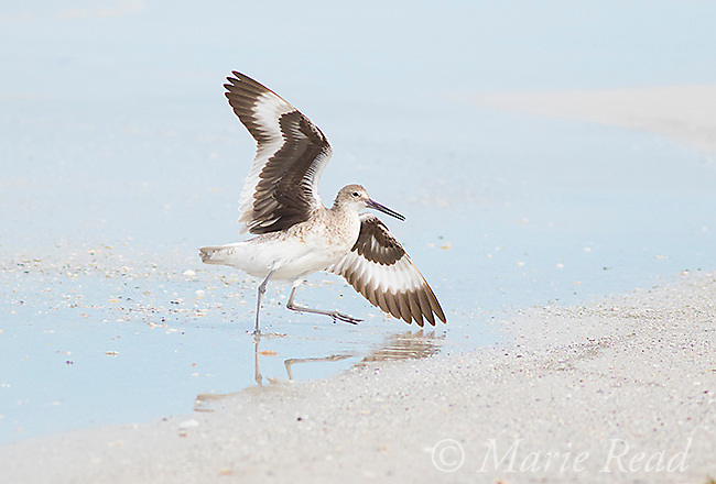 Willet (Catoptrophorus semipalmatus) running out of the water, outspread wings, Fort De Soto Park, Florida, USA