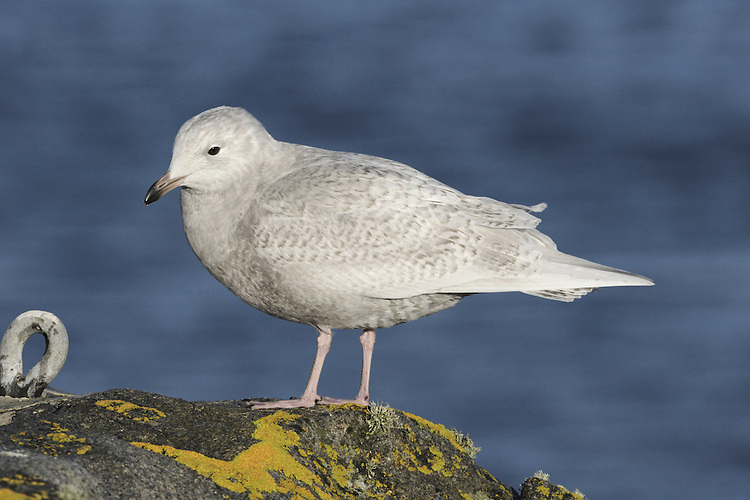 Iceland Gull Larus glaucoides L 52-60cm. Similar to Glaucous but smaller, less bulky and longer-winged. Has a rounded head and rather small bill. Legs are pink at all times. Sexes are similar. Adult in winter has pale grey back and upperwings with white primaries and white trailing edge to wings. Plumage is otherwise mainly white with dark streaks on head and neck. Bill is yellowish with an orange spot. Eye is yellowish with red orbital ring. In summer, similar but without streaks. Juvenile and 1st winter are pale grey-buff with white primaries. Bill is dark with dull pink base. Adult plumage acquired over 3 years. 2nd winter is similar but paler. 3rd winter is paler still. Voice Utters a kyaoo call and anxious ga-ka-ka. Status Very scarce non-breeding visitor, mainly to coasts in late winter.
