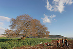 Israel, the Lower Galilee. An Arab family by the Atlantic Pistachio (Pistacia Atlantica) tree in Beth Natofa valley.