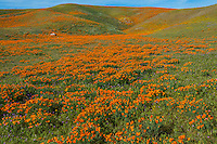 Wild California Poppies (Eschscholzia californica) along with a few goldfields (yellow) and filaree (lavendar).  California.  Spring.  Photo taken near the Antelope Valley California Poppy Reserve.