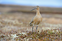 A male Bar-tailed Godwit (Limosa lapponica) of the Alaskan subspecies L. l. baueri stands alert near its nest. After breeding, the entire Alaskan population of this species stages for its long distance migration to New Zealand on the coastal mudlfats of the Yukon Delta. Yukon Delta National Wildlife Refuge, Alaska. June.
