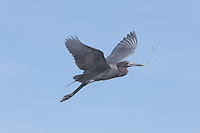Little Blue Heron (Egretta caerulea) flying with nesting material