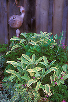 Herbs in pot planter together, Salvia officinalis Icterina culinary sage, variegated thymes Thymus, two types parsley flatleaf and curly