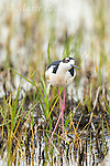 Black-necked Stilt (Himantopus mexicanus), male, Bear River Migratory Bird Refuge, Utah, USA