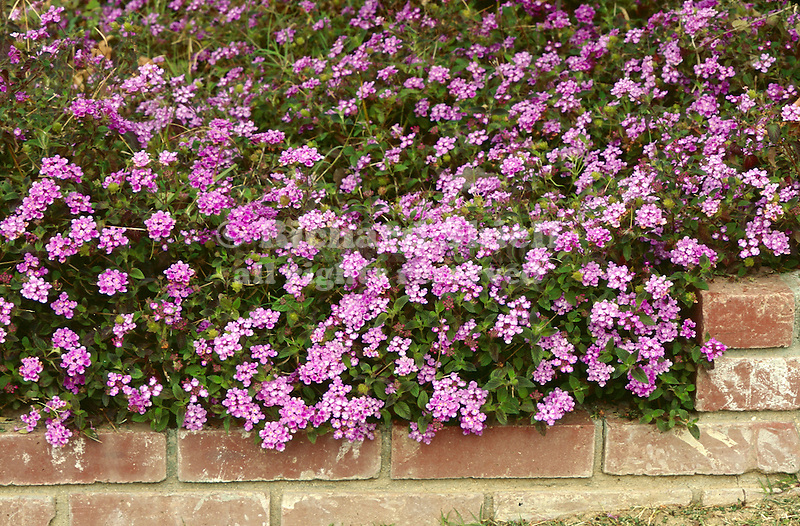 17204-CF Spreading Lantana, Lantana montevidensis, and edge of brick planter