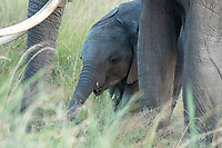 African Elephant adult and calf, Loxodonta africana, in Maasai Mara National Reserve, Kenya