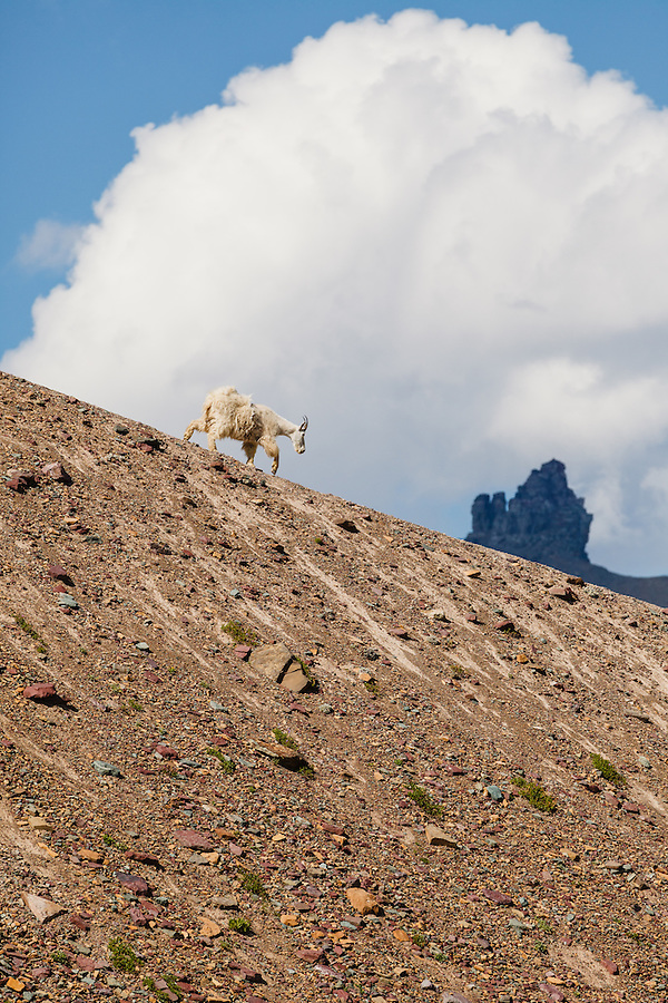A mountain goat descends a ridgeline near Logan Pass in Glacier National Park, Montana.