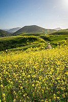 Rolling Hills and Mustard Plant San Luis Obispo