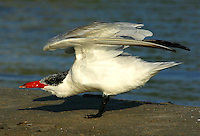 Adult Caspian tern in non-breeding plumage, wings raised