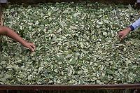 """Supporters of former Bolivian President Evo Morales, known as coca growers """"cocaleros"""", work separating out coca leaves in the local coca market, in Entre Rios, Chapare province, Bolivia. November 27, 2019.<br /> Les partisans de l'ancien président bolivien Evo Morales, connus sous le nom de cultivateurs de coca """"cocaleros"""", travaillent à la séparation des feuilles de coca sur le marché local de la coca, à Entre Rios, province du Chapare, Bolivie. 27 novembre 2019."""