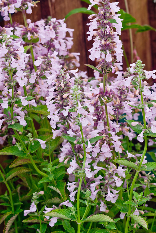 Nepeta grandiflora Dawn to Dusk pink catmint, with fragrant foliage leaves