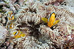 Maamendhoo Giri, Maamendhoo Island, Laamu Atoll, Maldives; one adult and three juvenile Clark's Anemonefish (Amphiprion clarkii) in a beaded sea anemone