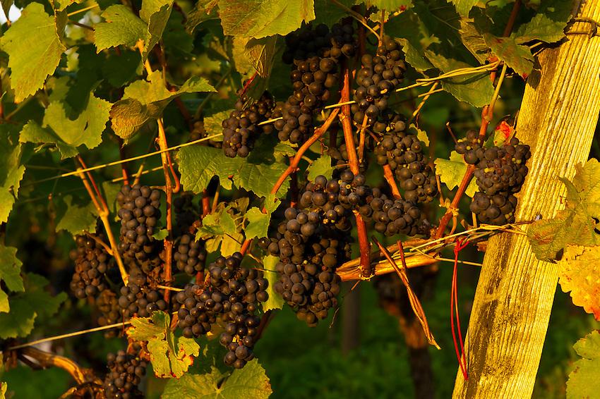 Vineyards at sunset, Offenburg, Baden-Württemberg, Germany