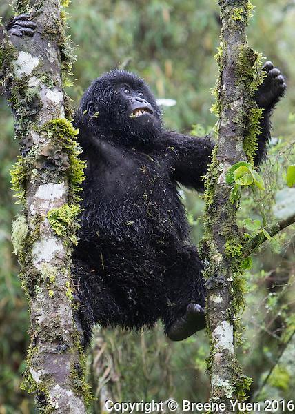 Gorilla Climbing  Rwanda 2015