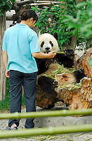Keeper offering Giant Panda a bamboo shoot at Chengdu Research Base of Giant Panda Breeding, Sichuan, China.