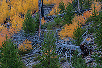 Aspen and conifer seedlings grow in a an area that burned 10 years prior, Yellowstone National Park, Wyoming
