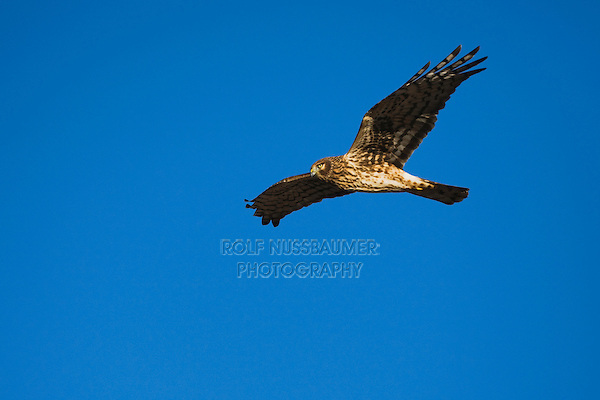 Northern Harrier (Circus cyaneus) , female in flight, Bosque del Apache National Wildlife Refuge , New Mexico, USA,